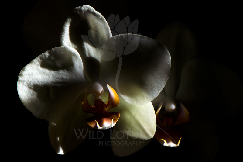 Flower pictured :: Moth Orchid<br /> <br /> Flower provided by :: Whole Foods<br /> <br /> 100712_003150 ICC sRGB 16in x 24in pic