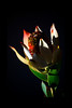 Pepper<br /> <br /> Flower pictured :: Leucadenron<br /> <br /> 022112_002006 ICC adobe 16inx 24in pic 20in x 30in matte