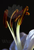 Flower pictured :: Asiatic Lily<br /> <br /> Flower provided by :: Babylon Floral<br /> <br /> 123012_007250 ICC sRGB 16in x 24in pic