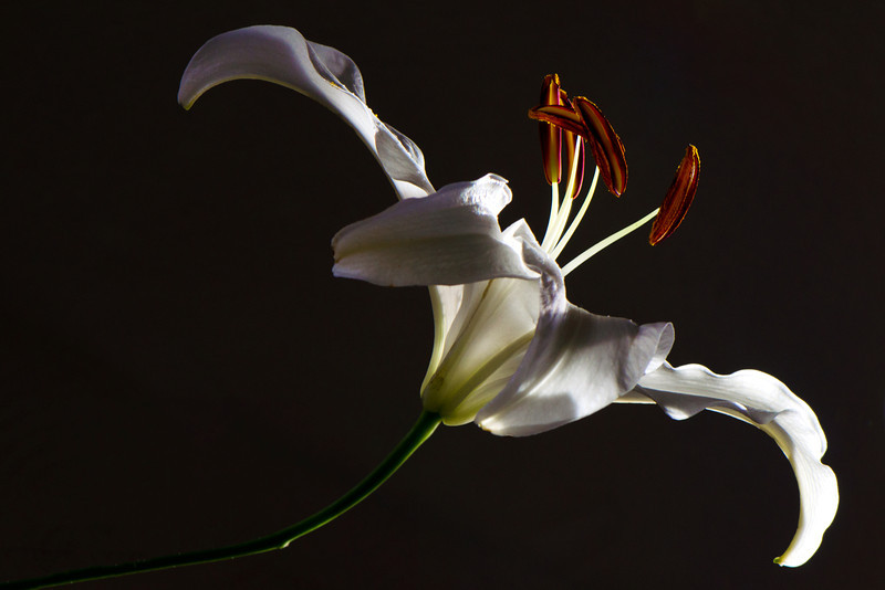 Flower pictured :: Asiatic Lily<br /> <br /> Flower provided by :: Babylon Floral<br /> <br /> 123012_007286 ICC sRGB 16in x 24in pic