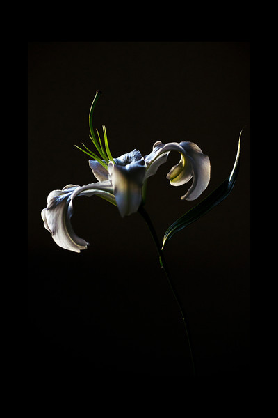 Silence<br /> <br /> Flower Pictured :: Asiatic Lily<br /> <br /> 022112_001964 ICC adobe 16in x 24in pic 20in x 30in matte
