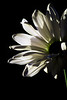 Flower pictured :: Daisy<br /> <br /> 031012_003122 ICC adobe 16in x 24in pic