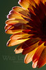Flower pictured :: Gerbera Daisy<br /> <br /> 033012_004652 ICC sRGB 16in x 24in pic