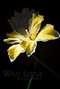 Flower pictured :: Butterfly Daffodil<br /> <br /> 031512_003503 ICC adobe 16in x 24in pic
