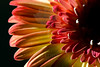 Flower pictured :: Gerbera Daisy<br /> <br /> 033012_004660 ICC sRGB 16in x 24in pic