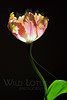 Flower pictured :: Parrot Tulip<br /> <br /> 033012_004572 ICC sRGB 16in x 24in pic