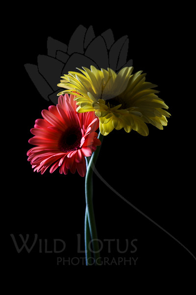 Coral And Gold<br /> <br /> Flower pictured :: Gerber Daisies<br /> <br /> 022812_002579 ICC adobe 16in x 24in pic 20in x 30in matte