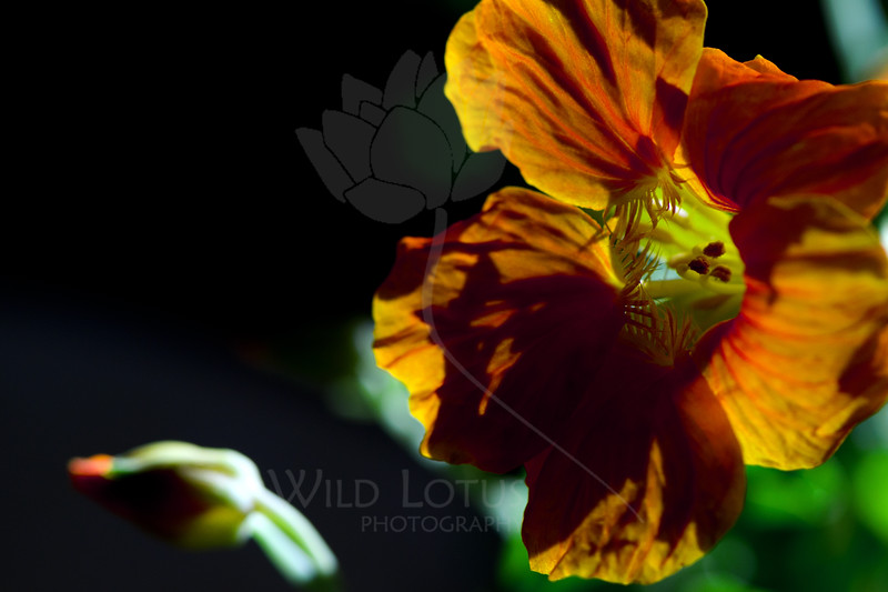 Flower pictured :: Monkey Flower<br /> <br /> Flower provided by :: Tagawa Gardens<br /> <br /> 061912_011784 ICC sRGB 16in x 24in pic