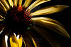 Flower pictured :: Echinacea<br /> <br /> Flower provided by :: Tagawa Gardens<br /> <br /> 092312_001985 ICC sRGB 16in x 24in pic