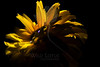 Flower pictured :: Black-eyed Susan<br /> <br /> Flower provided by :: Tagawa Gardens<br /> <br /> 081912_000265 ICC sRGB 16in x 24in pic