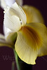 Flower pictured :: Japanese Iris<br /> <br /> 032512_004087 ICC adobe 16in x 24in pic