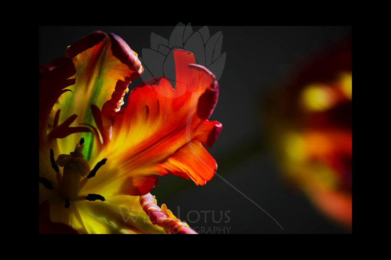 Flamigo<br /> <br /> Parrot Tulips<br /> <br /> 123011_002147 ICC adobe 16in x 24in pic 20in x 30in matte
