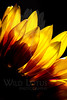 Flower pictured :: Sunflower<br /> <br /> Flower provided by :: Whole Foods<br /> <br /> 060213_012321 ICC sRGB 16x24 pic