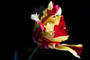 Flower pictured :: Parrot Tulip<br /> <br /> 032512_004115 ICC adobe 16in x 24in pic