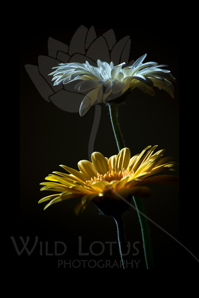 Moon Over Sun<br /> <br /> Flower pictured :: Gerber Daisies<br /> <br /> 022812_002545 ICC adobe 16in x 24in pic 20in x 30in matte