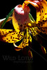 Flower pictured :: Tiger Lily<br /> <br /> Flower provided by :: Tagawa Gardens<br /> <br /> 060913_012688 ICC sRGB 16x24 pic