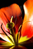 Flower pictured :: Tulip<br /> <br /> Flower provided by  :: Tagawa Gardens<br /> <br /> 032413_009496 ICC sRGB 16x24 pic