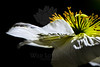 Tinsel<br /> <br /> Flower pictured :: Iceland Poppy<br /> <br /> Flower provided by :: The Gardens @ Highlands Ranch<br /> <br /> 052513_011853 ICC sRGB 16x24 pic