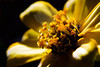 Flower pictured :: Marigold<br /> <br /> Flower provided by :: Tagawa Gardens<br /> <br /> 032413_009423 ICC sRGB 16x24 pic