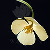 Flower pictured :: California Poppy<br /> <br /> Flower provided by :: Tagawa Gardens<br /> <br /> 032915_007445 ICC sRGB 16x16 pic