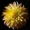 Pinwheel<br /> <br /> Flower pictured :: Dahlia<br /> <br /> Flower provided by :: Abloom<br /> <br /> 092014_005669 ICC sRGB 16x16 pic