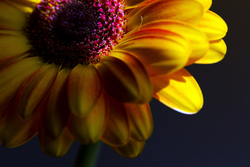 Flower pictured :: Gerbera Daisy<br /> <br /> Flower provided by :: The Little Flower Market<br /> <br /> 042912_007660 ICC sRGB 16in x 24in pic