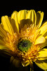 Impressions of Daffodil<br /> <br /> Flower pictured :: Gerbera Daisy<br /> <br /> 032112_003767 ICC adobe 16in x 24in pic