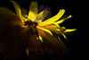 Flower pictured :: Black-eyed Susan<br /> <br /> Flower provided by :: Tagawa Gardens<br /> <br /> 081912_000264 ICC sRGB 16in x 24in pic