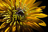 Flower pictured :: Black-eyed Susan<br /> <br /> Flower provided by :: Tagawa Gardens<br /> <br /> 081912_000294 ICC sRGB 16in x 24in pic