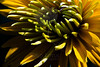 Flower pictured :: Black-Eyed Susan<br /> <br /> Flower provided by :: Tagawa Gardens<br /> <br /> 081712_000040 ICC sRGB 16in x 24in pic