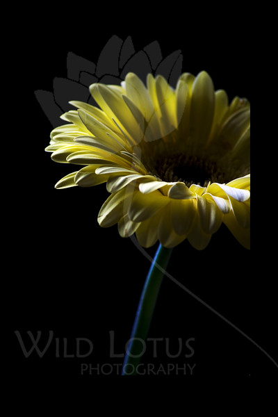 Lemondrop Sally <br /> <br /> Flower pictured :: Gerber Daisy<br /> <br /> 022812_002601 ICC adobe 16in x 24in pic 20in x 30in matte