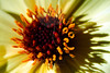 Flower pictured :: Dahlia<br /> <br /> Flower provided by :: Tagawa Gardens<br /> <br /> 042912_007462 ICC sRGB 16in x 24in pic