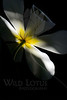 Sunshine In Shadow<br /> <br /> Flower pictured :: Tulip<br /> <br /> Flower provided by :: Tagawa Gardens<br /> <br /> 040614_004032 ICC sRGB 16x24 pic