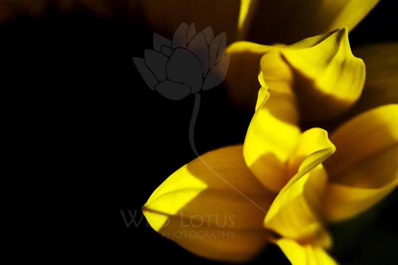 Flicker<br /> <br /> Flower pictured :: Sunflower<br /> <br /> Flower provided by :: Abloom<br /> <br /> 031614_003875 v2 ICC sRGB 16x24 pic