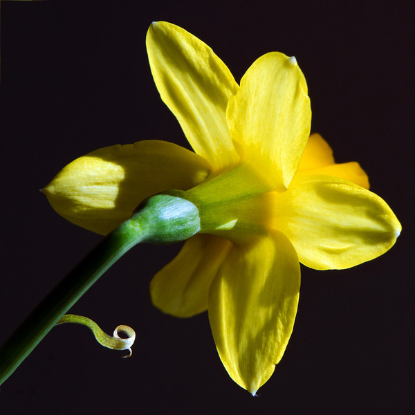 Flower pictured :: Daffodil<br /> <br /> Flower provided by :: Tagawa Gardens<br /> <br /> 031213_008984 ICC sRGB 16x16 pic