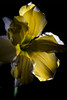 Flower pictured :: Butterfly Daffodil<br /> <br /> 031512_003533 ICC adobe 16in x 24in pic