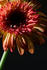 Flower pictured :: Gerbera Daisy<br /> <br /> 033012_004665 ICC sRGB 16in x 24in pic