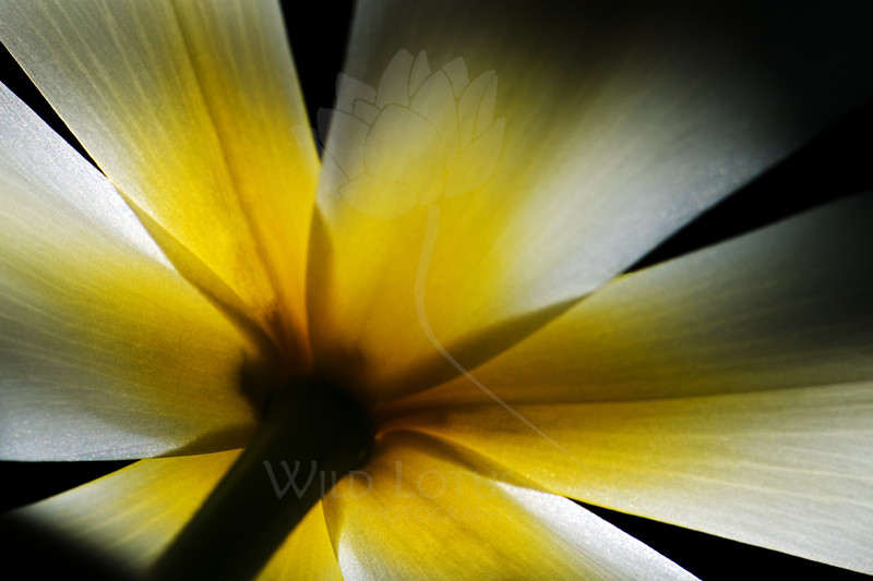 Rays<br /> <br /> Flower pictured :: Tulip<br /> <br /> Flower provided by :: Tagawa Gardens<br /> <br /> 040614_004021 ICC sRGB 16x24 pic