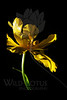 Balance<br /> <br /> Peony Tulip<br /> <br /> 021712_006863 ICC adobe 16in x 24in pic 20in x 30in matte