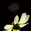 Sunbeam Satellite<br /> <br /> Flower pictured :: Daisy<br /> <br /> Flower provided by :: Tagawa Gardens<br /> <br /> 080413_000243 ICC sRGB 24x24 pic