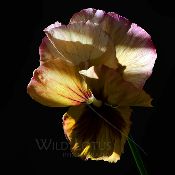 Flower pictured :: Pansy<br /> <br /> Flower provided by :: Tagawa Gardens<br /> <br /> 111112_005204 ICC sRGB 16in x 16in pic