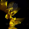 Flicker<br /> <br /> Flower pictured :: Sunflower<br /> <br /> Flower provided by :: Abloom<br /> <br /> 031614_003878 ICC sRGB 20x20 pic