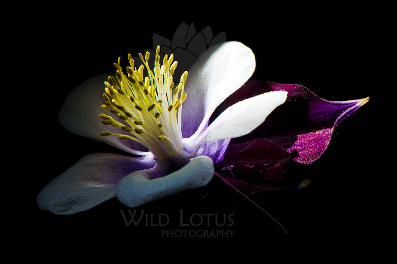 Flower pictured :: Columbine<br /> <br /> Flower provided by :: OTooles<br /> <br /> 053113_012089 ICC sRGB 16x24 pic