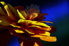 Flower pictured :: Zinna<br /> <br /> Flower provided by :: Tagawa Gardens<br /> <br /> 072813_000051 ICC sRGB 16x24 pic