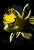 Flower pictured :: Daffodil<br /> <br /> 030112_002712 ICC adobe 16in x 24in pic