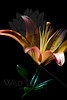 Flower pictured :: Asiatic Lily<br /> <br /> Flower provided by :: Abloom<br /> <br /> 072012_013187 ICC sRGB 16in x 24in pic