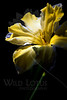 Flower pictured :: Butterfly Daffodil<br /> <br /> 031512_003490 ICC adobe 16in x 24in pic