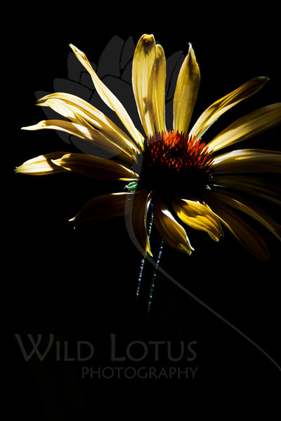 Flower pictured :: Echinacea<br /> <br /> Flower provided by :: Tagawa Gardens<br /> <br /> 092312_001995 ICC sRGB 16in x 24in pic