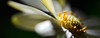 Lemondrop Skies<br /> <br /> Flower pictured :: Daisy<br /> <br /> Flower provided by :: Tagawa Gardens<br /> <br /> 042515_008424 ICC sRGB 15x40