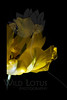 Green On Gold<br /> <br /> Peony Tulip<br /> <br /> 021612_006697 ICC adobe 16in x 24in pic 20in x 30in matte